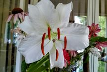 Lilies / Beautiful flowers in particular Lilies and Day Lilies.