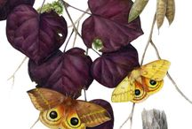 Butterfly/Lepidoptera Paintings by Mindy Lighthipe / Here is a compilation of butterfly paintings I have done over the years. I work in watercolor, gouache and colored pencil. Learn more about my art by visiting my website at: http://www.MindyLighthipe.com
