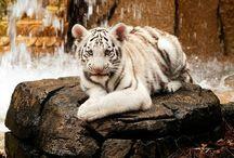 tiger= ̄ω ̄=