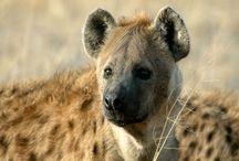 hyenas - lewi's board