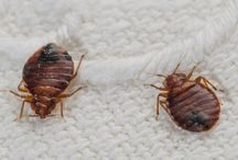 Natural cure for bedbugs