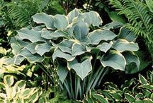 Hosta / Hosta varieties / by Kathleen O'Connell