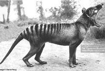 Critters - Dasyuromorphia