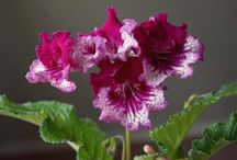 Joe's Streptocarpus 2013 / My breeding of Streptocarpus