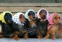 Doxies, gotta love them!!! / by Sascha
