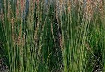 Växter: dekorationsgräs / Perenna dekorationsgräs