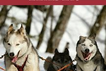 Dogs / Mostly Shiba Inus, Eskies and Corgis