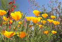 Wildflowers / Planting, selecting, and information about Wildflowers in the Sonoran Desert.