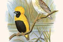 *****ornitologia3