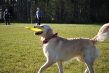 My awesome disc dog Sophie / Sophie out practicing frisbee