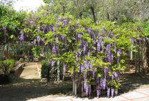 wisteria, blåregn