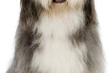pastor ingles mi sueño de perro¡