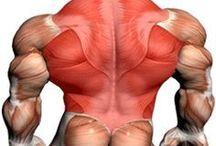 Анатомия мышц.