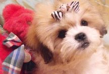 Teddy Bear Puppies ... we love our Dixie Doggie / by Debbie Cummings