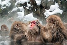 monkeys in hot springs