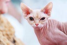 Amazing hairless cat...