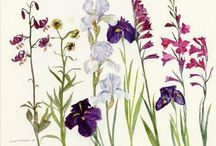 Elizabeth Blackadder / Flower illustration