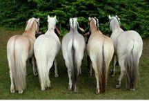 Fiord horse
