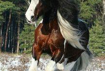 cavalos Clydesdale