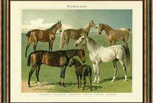 Obrazy koně / Nádherné obrazy-kresby koní. Kvalitní reprodukce starých litografií starých 100 až 150 let.