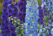 Bloemen en (groente) planten. / Zaailingen voor en in mijn tuin en/of kas. Planten welke we in de tuin of op het terras hebben. Soms incl.de info.
