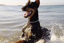 dobermans i want