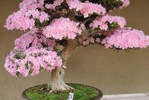 Bonsai ağaçları