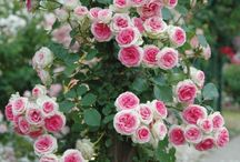 popínavé kvety