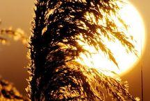 wheat, barley and the like