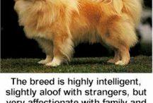 Tibbies / Tibetan spaniels, mastiffs, and the occasional terrier.