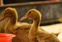 Waddling Free / Our new recruits down on the farm are a paddle of gorgeous ducks
