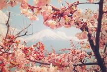 Sakura my love