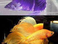my fish_ces