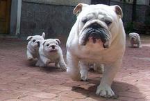 Bulldogg! ♡♥★