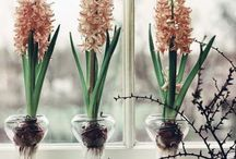 Hyacinthus on glass