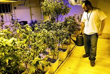 Marijuana-Friendly Real Estate is Selling Quick / In states where marijuana has been legalized for recreational use, real estate agents are beginning to show off massive pot plants in yards of promotional photos for properties. It's smart salesmanship, especially if the plants are included in the deal.