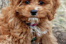 Maddy our Cockapoo / by Melody S