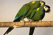 Propyrrhura / Il genere Propyrrhura comprende tre specie di pappagalli sudamericani, affini alle grandi ara da cui si differenziano per colorazione e taglia. Il loro aspetto tuttavia richiama diversi elementi in comune con i conuri pyrrhura, e ciò spiega il nome attribuito a questo genere.