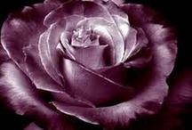 trandafiri pentru gradina mea