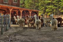 Alpacas & Llamas  / by Debbie Chandler