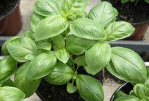 BIO pěstování / Ekologické pěstování bez chemie. http://obchod.pestovani.in/cz/360-ekologicke-osivo