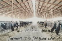 Dairy Cattle Department