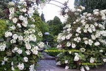 "Hydrangea Quercifolia ""Hovaria"""