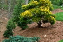 Pinus virginiana-Virginiai erdeifenyő