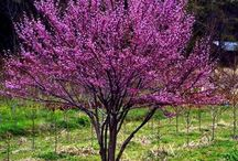 Cultivar Choices-Redbud / Out of the all the Redbud cultivars, these are the choices that seem to be most available in to the trade in the Atlanta area