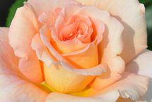 Rose / Rosa arancio