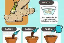 Gengibre -como cultivar em casa