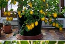 Lemon tree plants