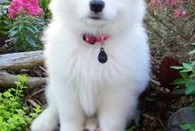 Samoyed Puppies! / by Meghan Walsh