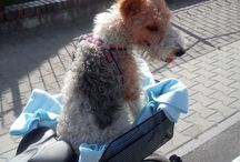 wire foxterrier Nana / My best friend❤ and only love